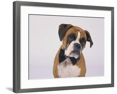 Boxer in a Bow Tie-DLILLC-Framed Photographic Print