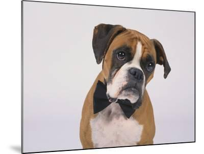 Boxer in a Bow Tie-DLILLC-Mounted Photographic Print