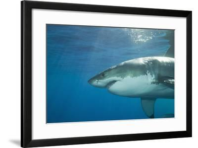 Great White Shark-DLILLC-Framed Photographic Print