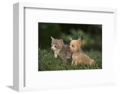 Chihuahua Puppy and a Kitten-DLILLC-Framed Photographic Print