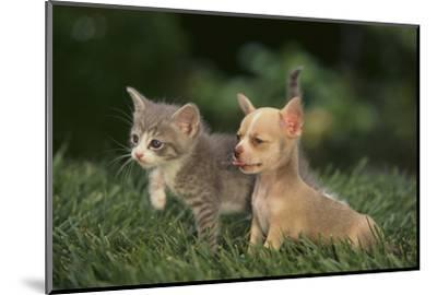 Chihuahua Puppy and a Kitten-DLILLC-Mounted Photographic Print