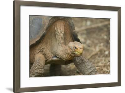 Saddleback Galapagos Tortoise-DLILLC-Framed Photographic Print