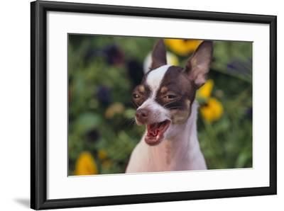Chihuahua-DLILLC-Framed Photographic Print