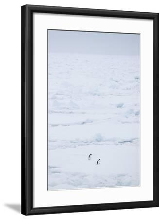 Adelie Penguins Walking along Sea Ice-DLILLC-Framed Photographic Print