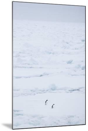 Adelie Penguins Walking along Sea Ice-DLILLC-Mounted Photographic Print