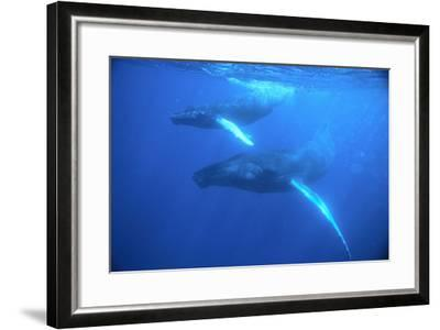 Humpback Whales-DLILLC-Framed Photographic Print