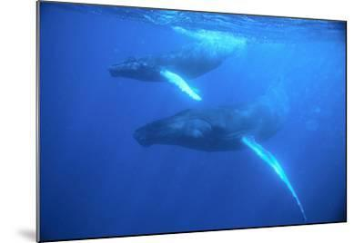 Humpback Whales-DLILLC-Mounted Photographic Print