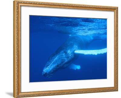 Humpback Whale-DLILLC-Framed Photographic Print