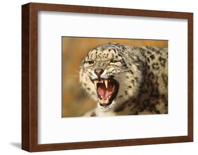 Snow Leopard Snarling-DLILLC-Framed Photographic Print