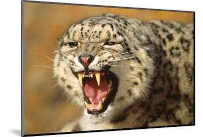 Snow Leopard Snarling-DLILLC-Mounted Photographic Print