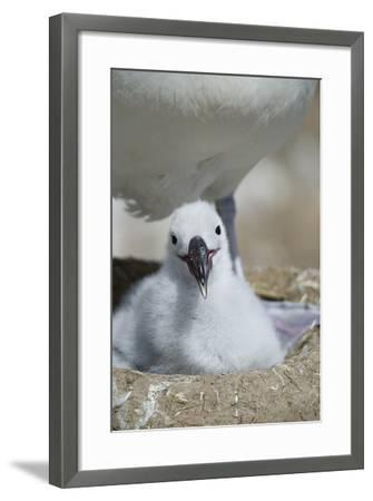 Black-Browed Albatross Chick-DLILLC-Framed Photographic Print
