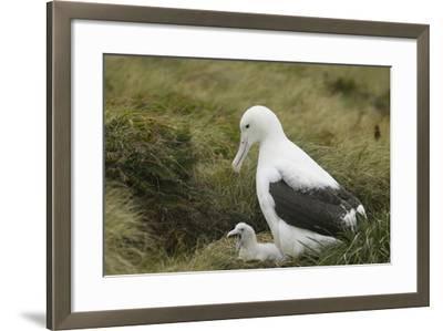 Southern Royal Albatross-DLILLC-Framed Photographic Print