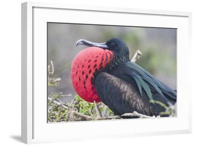 Great Frigatebird Puffing His Inflatable Red Throat Pouch-DLILLC-Framed Photographic Print