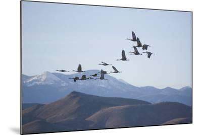 Snow Geese in Flight-DLILLC-Mounted Photographic Print