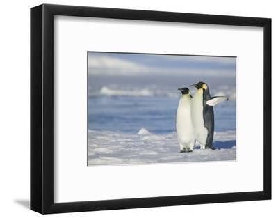 Pair of Emperor Penguins-DLILLC-Framed Photographic Print