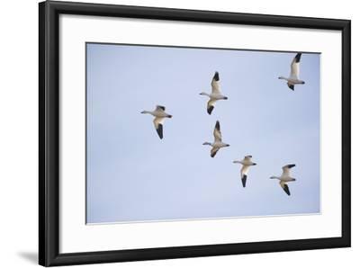 Snow Geese in Flight-DLILLC-Framed Photographic Print