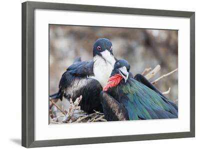 Great Frigatebird Male and Female Pair-DLILLC-Framed Photographic Print