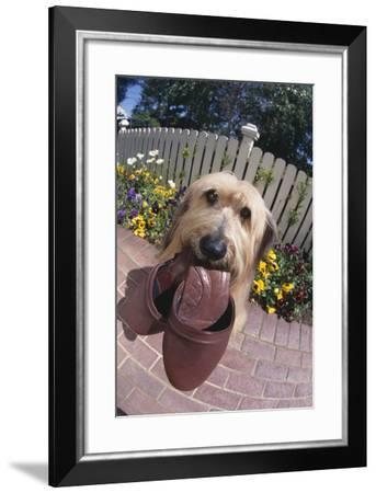 Dog with Slippers in Mouth-DLILLC-Framed Photographic Print