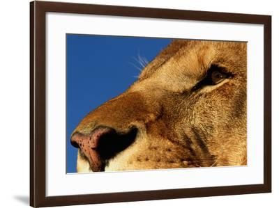 Face of Male Lion-DLILLC-Framed Photographic Print