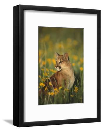 Mountain Lion Sitting in Wildflowers-DLILLC-Framed Photographic Print