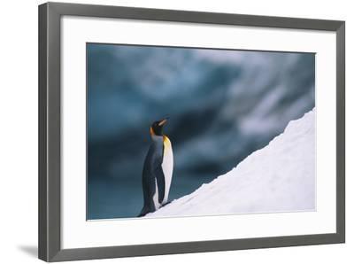 King Penguin on Snow-DLILLC-Framed Photographic Print
