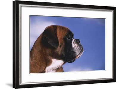 Boxer-DLILLC-Framed Photographic Print