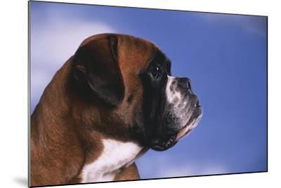 Boxer-DLILLC-Mounted Photographic Print