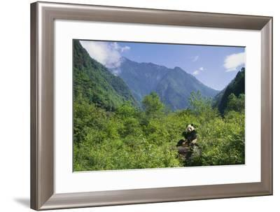 Captive Panda Eating Bamboo at Wolong Nature Reserve-DLILLC-Framed Photographic Print