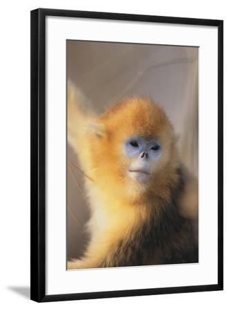 Golden, or Blue Monkey-DLILLC-Framed Photographic Print