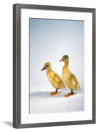 Domestic Ducklings-DLILLC-Framed Photographic Print