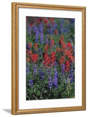 Giant Red Paintbrush and Lupine-DLILLC-Framed Photographic Print