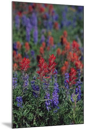 Giant Red Paintbrush and Lupine-DLILLC-Mounted Photographic Print