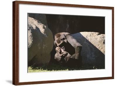 Gorilla-DLILLC-Framed Photographic Print