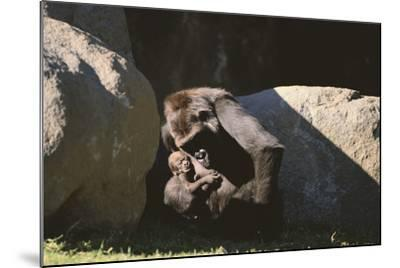 Gorilla-DLILLC-Mounted Photographic Print