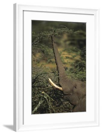 Elephant Reaching for Food-DLILLC-Framed Photographic Print