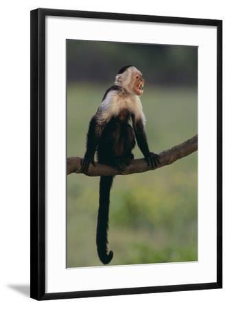 White-Faced Capuchin-DLILLC-Framed Photographic Print