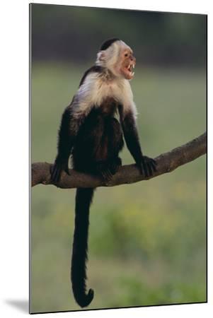 White-Faced Capuchin-DLILLC-Mounted Photographic Print
