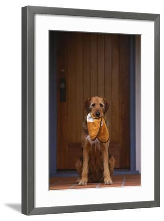 Airedale Mix with Slippers in Mouth-DLILLC-Framed Photographic Print