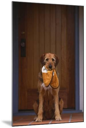 Airedale Mix with Slippers in Mouth-DLILLC-Mounted Photographic Print