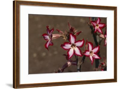 Impala Lily-DLILLC-Framed Photographic Print