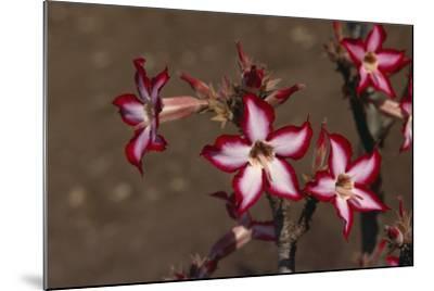 Impala Lily-DLILLC-Mounted Photographic Print