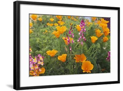 Poppies and Toadflax-DLILLC-Framed Photographic Print