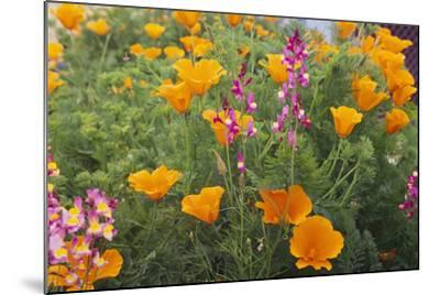Poppies and Toadflax-DLILLC-Mounted Photographic Print