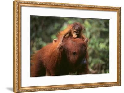 Orangutan-DLILLC-Framed Photographic Print