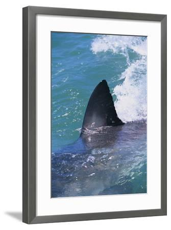 Great White Shark-DLILLC-Framed Photographic Print