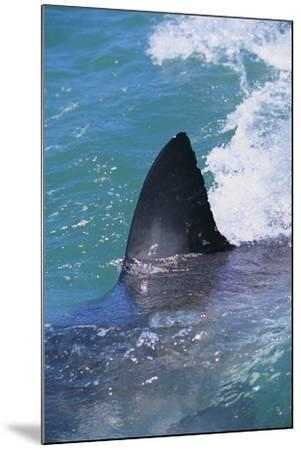 Great White Shark-DLILLC-Mounted Photographic Print