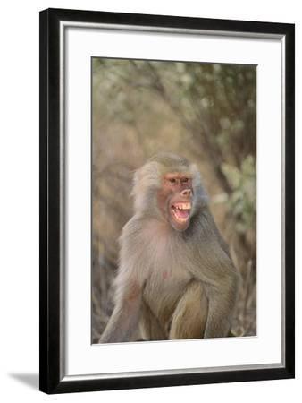 Hamadryas Baboon Baring Teeth-DLILLC-Framed Photographic Print
