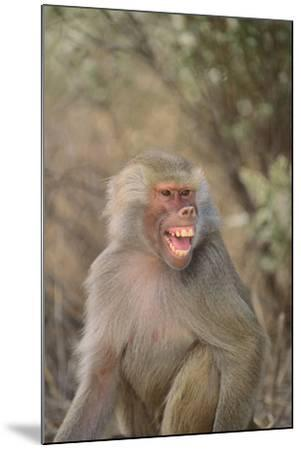 Hamadryas Baboon Baring Teeth-DLILLC-Mounted Photographic Print