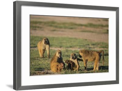 Baboon Family-DLILLC-Framed Photographic Print