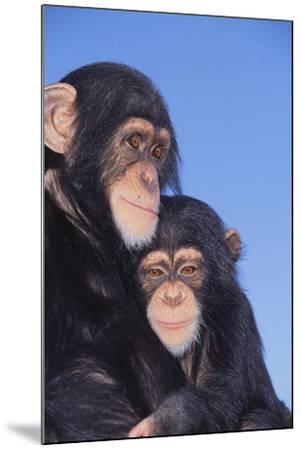 Chimpanzees-DLILLC-Mounted Photographic Print